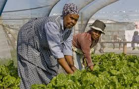 Agricultoras sudafricanas cosechan plantas cultivadas de manera orgánica