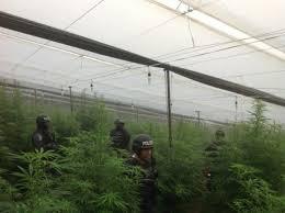 Efectivos policiales durante la incautación de un invernadero con cultivos de marihuana
