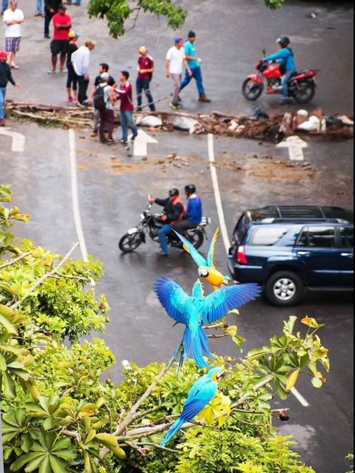 La barricada de las guacamayas.jpg